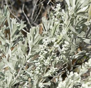 Artemisia_tridentata_2