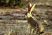 Black_tailed_jack_rabbit
