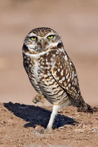 Burrowing_Owl_-_natures_pics_2