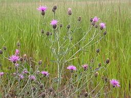 Centaurea_maculosa_(3768271870)