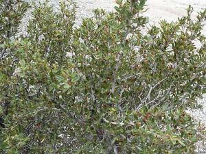 Cercocarpus_ledifolius_var_intermontanus_1 (1)