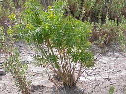 Euphorbia_esula_(4031384669)