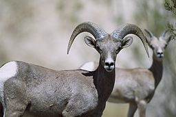 Female_bighorn_sheep