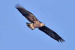 Golden_Eagle_1