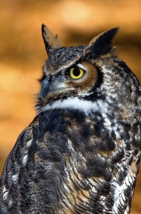 Great-horned-owl-15b