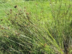 Juncus_balticus_-_Botanical_Garden_in_Kaisaniemi,_Helsinki_-_DSC03516 (1)