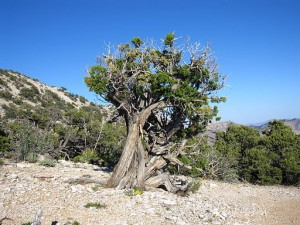 Juniperus_osteosperma_Beaver_Dam_Mountains_Nevada (1)