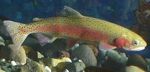 Lahontan_cutthroat_trout_image_USFWS