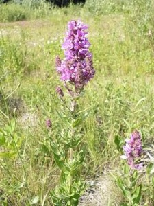 Noxious weeds friends of black rock high rock lythrumsalicariaom48 purple loosestrife mightylinksfo