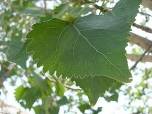 Populus_fremontii_ssp._fremontii_001