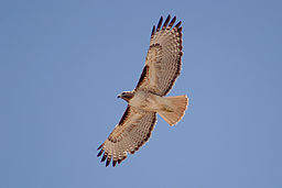Red-tailed_Hawk_(Buteo_jamaicensis)_in_flight (1)