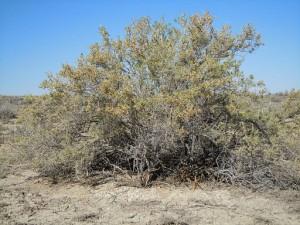 Sarcobatus_vermiculatus_(5042404486) (1)