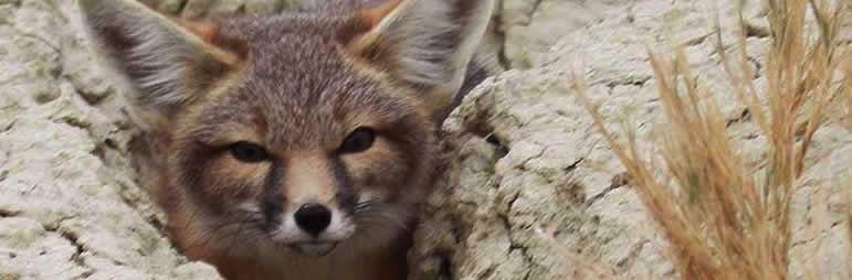 kit fox at coyote dunes
