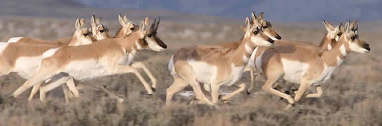 wildlife antelope