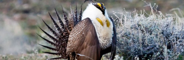 Sagegrouse protection